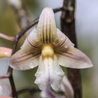 Dendrobium jiewhoei