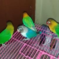 Lovebird Josan Balibu