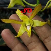 Dendrobium keriting emas