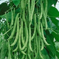biji benih tanaman buncis hijau