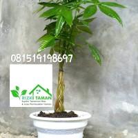 Pachira aquatica kepang 4 plus pot money tree pohon uang