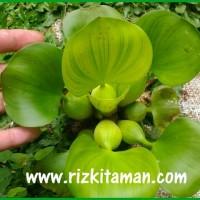 tanaman Air Eceng Gondok Eichhornia crassipes berbunga ungu