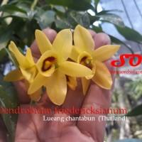 Dendrobium friedericksianum
