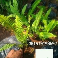Jual pakis kelabang | tanaman untuk taman vertikal