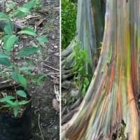 Bibit pohon pelangi/rainbow eucalyptus