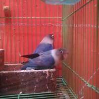 Jual Lovebird Indukan Produksi Mangsi Dan Fischery Pied Cobalt Kota Depok Mumur Tokopedia