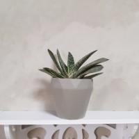 Deskplant_Succulent_Sukulen_Cactus_Kaktus_Gasteria