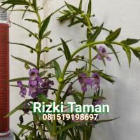 lavender tanaman plus pot pengusir nyamuk