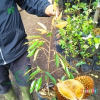 Bibit pohon durian bawor Tinggi 70 cm up BIBIT DURIAN MANIS UNGGUL