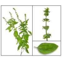 benih biji bibit tumbuhan daun kemangi Unggul (isi 50 benih)