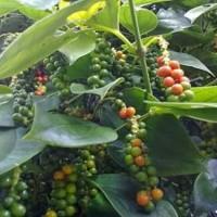 Bibit Lada perdu Merica dewasa berbuah / Sahang tanaman sudh berbuah