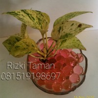 Sirih gading tanaman hidrogel tanaman indoor rambat