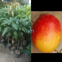 Bibit mangga garifta orange
