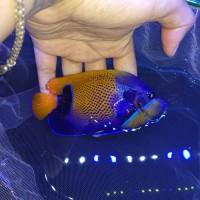 Harga Ikan Hias Laut Travelbon.com