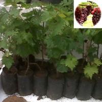 Bibit Anggur Merah Pohon Anggur Tanaman Anggur