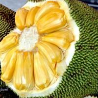 biji benih buah nangka kuning super daging tebel