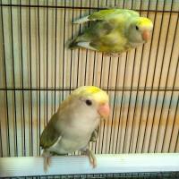 Harga Lovebird Non Klep Hargano.com