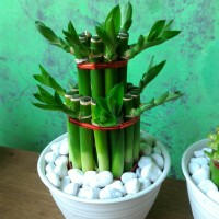 Souvenir tanaman hias bambu hoki lucky bamboo