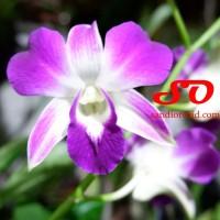 "Dendrobium sonia ""earsakul"""