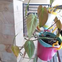 Bibit Tanaman Philodendron micans_Tanaman Indoor_Indoor Plant