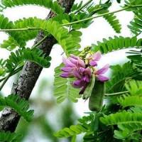 Bibit Saga pohon tanaman obat merambat