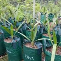 EXCLUSIVE Bibit Pohon Kurma Azwa TERJAMIN
