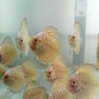 Harga Ikan Discus Hargano.com