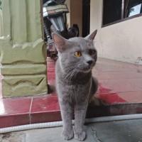 Harga Kucing Russian Blue Travelbon.com