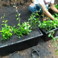 Paket 10 pot plus tanaman lee kwan yew, pot panjang untuk atap