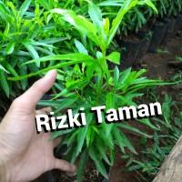 Zodiak/zodia, tanaman aroma anti nyamuk
