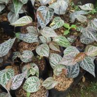 Sirih merah tanaman rambat herbal