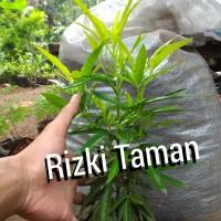 Jual tanaman Zodiak anti nyamuk, tanaman taman halaman rumah