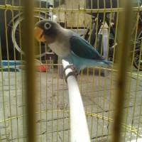 Burung Lovebird Love Bird Cobal No Minus Fullset Khusus COD Surabaya