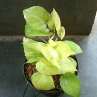 Sirih Gading Kuning tanaman rambat gantung