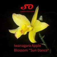 """Iwanagara Apple Blossom """"Sun Dance"""""""