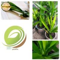 Harga bibit tanaman daun suji pohon pandan betawi wangi herbal pewarna | antitipu.com