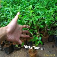 Tanaman lee kwan yew | tipe menjuntai