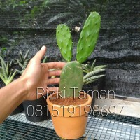 tanaman Kaktus centong / mirip kaktus mickey mouse