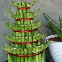 Custom order House plant bambu hoki lucky bamboo