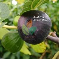 Bibit Buah Tin Italian Dark
