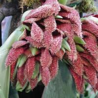 Harga bulbophyllum phalaenopsis anggrek dasi   Pembandingharga.com