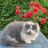 Harga Kucing Persia Pesek Hargano.com