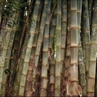 Bibit Pohon Bambu Petung Atau Betung Kultur Jaringan