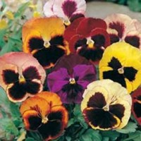 Benih Bunga Pansy Swiss Giant Mixed - 10 Biji