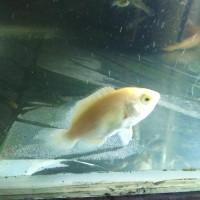 Harga ikan oscar albino predator | antitipu.com