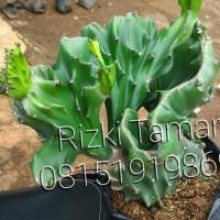 kaktus lactea green jumbo