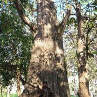 1 kg Biji Benih Pohon Jati Emas Hybrid Unggul