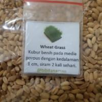 Jual Benih Tanaman Rumput Gandum (Wheat Grass Seeds)