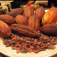Ready 6 Bibit Kakao Coklat Super Unggul Berkwalitas