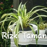 Spider plants tanaman berikut pot gantung